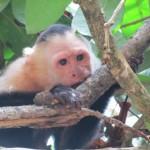 singe cara blanca de Manuel Antonio, Costa Rica